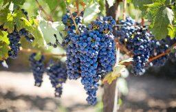 doenças e pragas da vinha