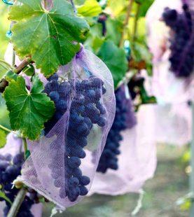 Doenças e Pragas da Vinha – Prevenção e controlo
