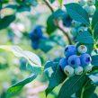 Formação Poda de Pequenos Frutos