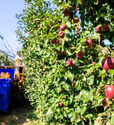 Operações culturais de implantação, condução, manutenção e colheita de pomares