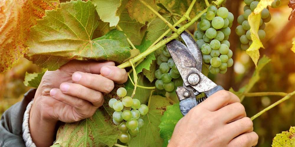Poda e enxertia em viticultura