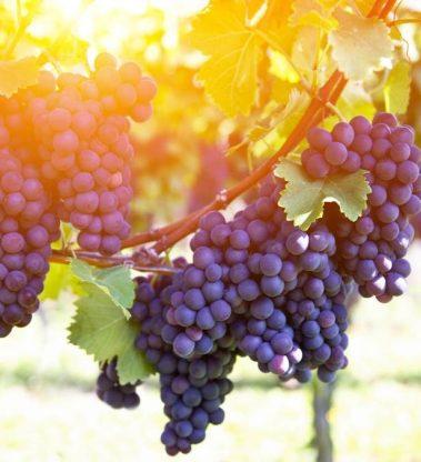 Avaliação do estado de maturação das uvas